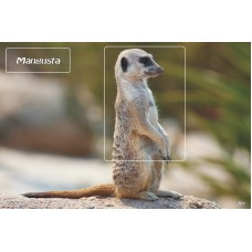 mec1093 - Mangusta - colita n